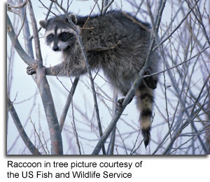 raccoon-in-tree_USFWS